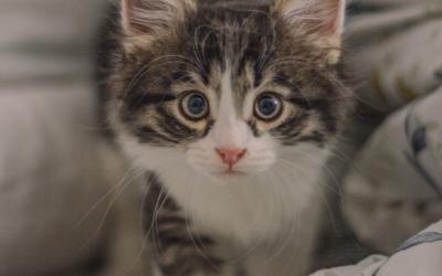 Vaccins chaton : quand, pourquoi et à quel prix ?